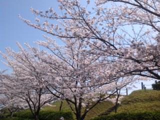 2014年桜 (8)